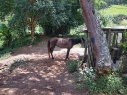 Égua, 4 anos, mansa, raça Crioula