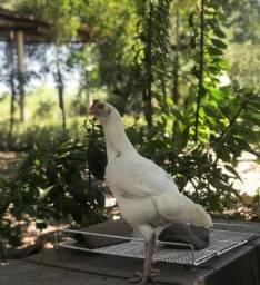 Vendo galinha indiana body branca barbuda