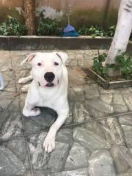 Pitbull american terrier pra cruza
