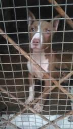 Linda pitbull fêmea - 3 meses