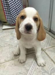 Vendo Filhotes Fêmeas De Beagle