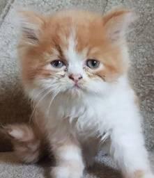 Lindo filhote de gato persa laranja com branco puro.Entrego em Curitiba e região próxima