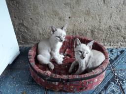 Gato siamês macho e fêmea 3 meses