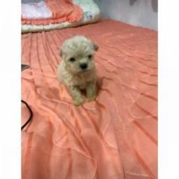 Poodle micro toy fêmea entrego