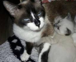 Doação de gato siames