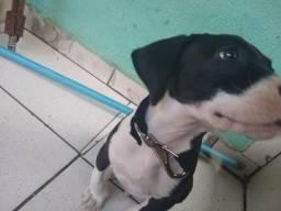 Pitbull American terrier( puro 2 meses )
