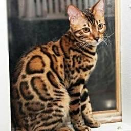 Gatos Bengal filhotes em SP com Pedigree