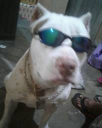 Pitbull America red nose staffordshire terrier