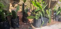 Mudas de pitayas brotadas (pitaya vermelha)