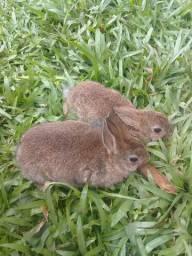 Mine coelhos femeas disponiveis
