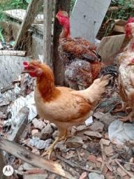 Frango e 03 galinhas de pequeno porte, frango carijó pescoço pelado quase cantando.
