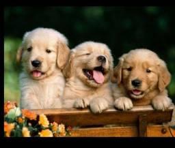Goldens retriever ótimos companheiros