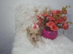 Poodle micro toy fêmea linda