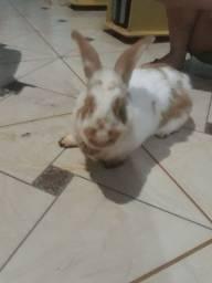 vendo coelho adulto macho