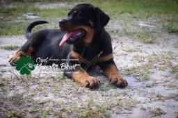 Fêmea de Rottweiler com pedigree CBKC