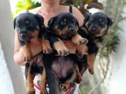 Filhotes de rottweiler (FÊMEAS)
