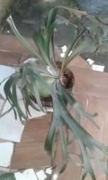 Orquídea Chifre de Veado