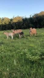 Vacas com cria