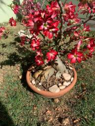 Planta rosa do deserto