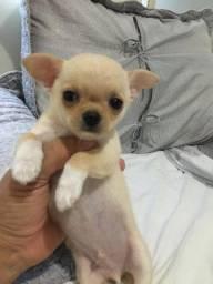 Filhote de Chihuahua pelo curto