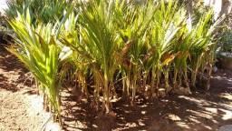 coco Anão Verde