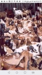 Vendo caprinos e ovinos para criação