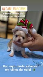 Lindo Chihuahua macho com pêlo longo a pronta entrega, linhagem russa