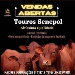 [951]]Estão em Boa Nova/Bahia - Reprodutores Touros Senepol PO - R$ 11.000 cada