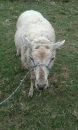 Vendo carneiro