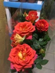 Roseiras para o dia das Mães
