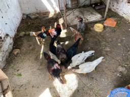 Vende-se galinhas e galos