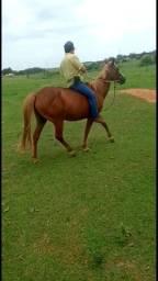 Égua prenha de cavalo puro