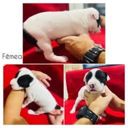 Filhotes de American Stafforshire Terrier