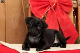 Pug macho/fêmea, abricot e preto, com garantias e suporte veterinário gratuito!