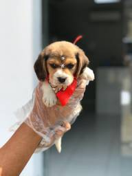 Beagle tricolor e bicolor (mini) !