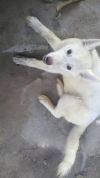 Filhote de husky com 3 meses