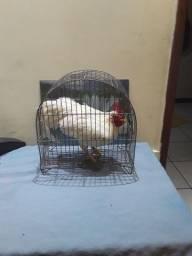 Vendo galinho Garnizé