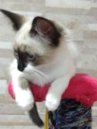 Gato siamês 3 meses