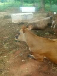 Vendo 4 vacas e 3 bezerros