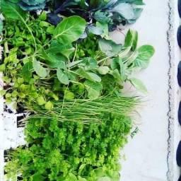 Mudas de hortaliças e temperos