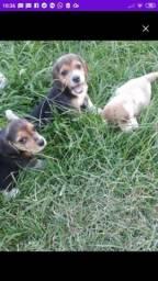 Lindas beagle com Fox entrego