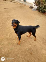 Rottweiler_ Cobertura