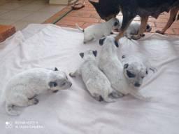Filhotes BLUE heler