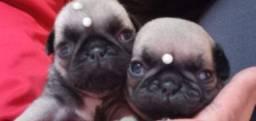 Pug lindos filhotes Black e Abricot com pedigree
