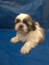 Shihtzu os mais belos