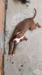 Filhote Pit bull macho com 3 meses