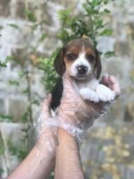Beagle machos e fêmeas para hoje