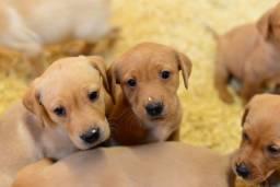 Lindos Filhotes de Labrador na Cor Caramelo