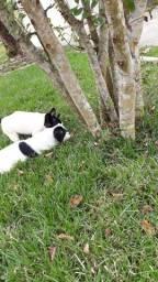 Cachorro Buldog Frances.