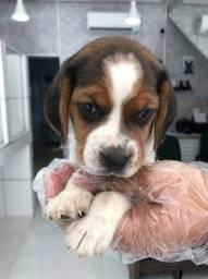 os mais fofos filhotinhos de Beagle disponiveis em loja fisica, consulte *Lucas